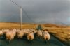 Sheep on Dingle Peninsula